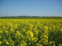 910692_yellow_field